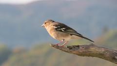 Chaffinch (hedgehoggarden1) Tags: bird nature birds naturereserve animalplanet chaffinch dumfriesgalloway fringilliacoelebs rspbmereshead