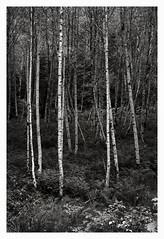Alder (6) (Robert Drozda) Tags: bw tree forest washington mountrainiernationalpark alder mora aldergrove westsideroad drozda