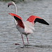 Greater Flamingo, Phoenicopterus roseus at Marievale Nature Reserve, Gauteng, South Afr