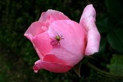Araigne, araniella sp. mle (escaledith) Tags: flower macro fleur animal rose spider vert marron couleur animalia insecte araigne araneae prdateur artropode fleurrose arachnid invertbr araigneverte arthrioidanchelicerata