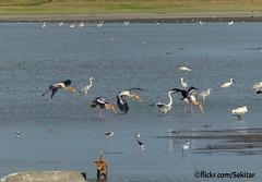 Storks at Vavuniya Kulam, Sri Lanka (Sekitar) Tags: dog nature pond waterbird sri lanka srilanka stork kulam vavuniya earthasia