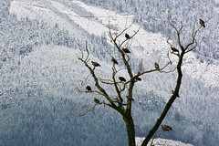 Eagle tree (Adam Wang) Tags: mountain snow tree bird nature wildlife baldeagle raptor