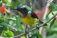 Sunbird (Lim SK) Tags: sunbird
