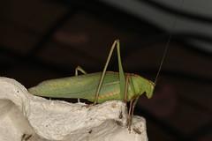Caedicia simplex (dhobern) Tags: december australia orthoptera tettigoniidae act simplex aranda 2015 caedicia phaneroptinae