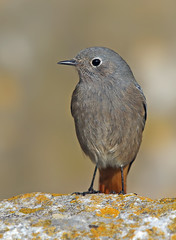 Black Redstart (oddie25) Tags: canon 1dx 600mmf4ii redstart blackredstart breandowns bird winter nature wildlife