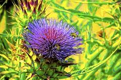 Thistle! (maginoz1) Tags: flower flora abstract art manipulate summer december 2016 bulla melbourne victoria australia canon g3x thistle bee
