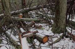 Wells Mills Trail (elisecavicchi) Tags: atlantic white cedar interior exposed sawn lumber logs log snow winter december green lichen tumbled wells mills trail waretown new jersey nj still remains