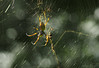 Holidays spider_c (gnarlydog) Tags: jupiter11135mmf4 adaptedlens russianlens spiderweb spider backlit bokeh speckledhighlights bubbles shallowdepthoffield goldenorb australia nature insect manualfocus