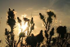 Punks (alideniese) Tags: sunset sunflare sundown dusk evening flowers nature silhouette light shadow sky wintonwetlands victoria australia