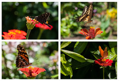 Papillons ... (sosivov) Tags: butterfly flower flowers montage nicaragua ometepe