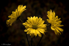 Yellow Daisy Tableau 0105 Copyrighted (Tjerger) Tags: nature black bloom closeup daisies daisy flora floral flower green macro petals plant portrait stems tableau three trio winter wisconsin yellow darkbackground natural