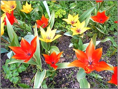 Red and Yellow.. (** Janets Photos **) Tags: uk hull citycentres colours red yellow tulips flowers plants