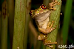 Leptopelis natalensis - Natal Forest Tree Frog (Tyrone Ping) Tags: tyroneping wwwtyronepingcoza macro canon canon7d 100mmmacrof28 mt24ex kwazulunatal natal frog foresttreefrog leptopelisnatalensis durban south africa reptiles wild wildherps wildanimals