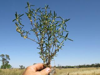 Alternanthera denticulata plant17 CWS