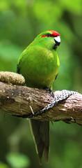 Zealandia ~ Kakariki (whitebear100) Tags: zealandia kakariki wellington northisland nz newzealand