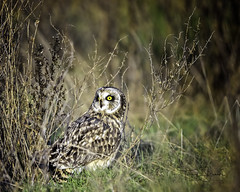 Short-Eared Owl On The Ground After Missing It's Prey, Western Washington (Hawg Wild Photography) Tags: shortearedowl shorteared owl owls bird birds of prey nature animal animals wildlife raptor raptors western washington pacific northwest terrygreen nikon nikon600mmvr d810 hawg wild photography