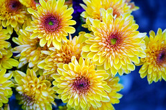 Color saturation (Pensive glance) Tags: chrysanthemum chrysanthème flower flwur plant plante