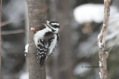 Hairy Woodpecker (Picoides villosus)(Female) (Gerald (Wayne) Prout) Tags: hairywoodpecker picoidesvillosus animalia chordata aves piciformes picidae picoides photographed female grubs jackpine tree herseylakeconservationarea cityoftimmins northeasternontario canada prout geraldwayneprout canon canoneos60d hairy woodpecker woodpeckers birds herseylake hersey lake conservation area timmins northeastern northernontario ontario ontarione