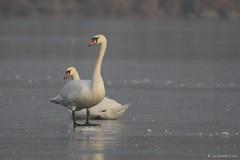 Cygnes tuberculés - Mute Swan (Cygnus olor) - Décines-Charpieu - Lac des Allivoz (Rhône) France, le 22 janvier 2017 (Loïc Le Comte) Tags: sigma150600 cygnestuberculés muteswan cygnusolor décinescharpieu