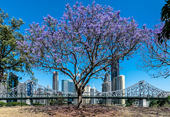 Jacaranda & The Story Bridge (Norma Martiri) Tags: jacarandatree jacaranda story bridge blue bluesky sky spring cityscape wilsonsoutlook wilsonspoint