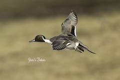 Northern Pintail in Flight (Jims Fotos) Tags: 2017 eos1dx slimbridge wwtslimbridge canon northernpintail flight flying waterfowl anusacuta