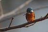 Kingfisher (Jannis_V) Tags: eisvogel kingfisher