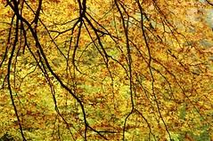 Gold - Lichtdurchflutetes Buchenlaub; Bergenhusen, Stapelholm (25) (Chironius) Tags: stapelholm bergenhusen schleswigholstein deutschland germany allemagne alemania germania германия niemcy gegenlicht rosids fabids buchenartige fagales buchengewächse fagaceae baum bäume tree trees arbre дерево árbol arbres деревья árboles albero árvore ağaç boom träd herbst herfst autumn autunno efteråret otoño höst jesień осень laub szlezwigholsztyn fagoideae buchen rotbuche faia kayın beuken бук bok fagus