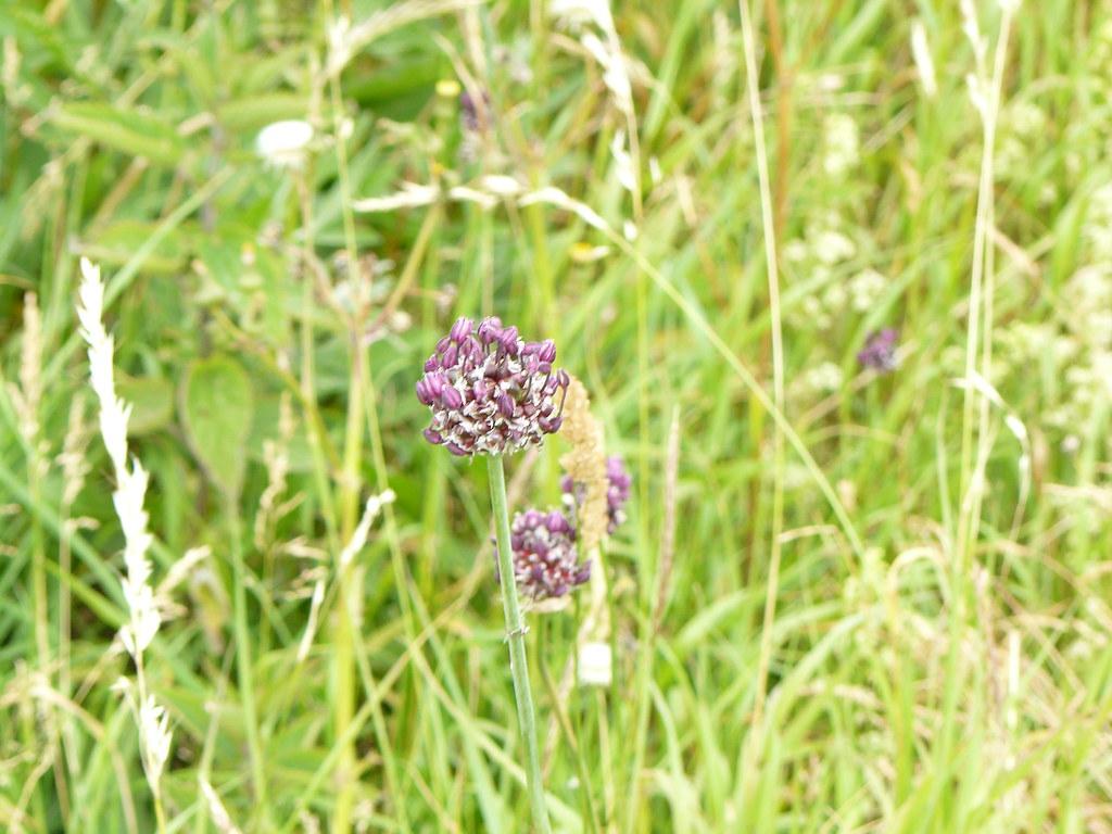 Allium scorodoprasum-Schlangenlauch2