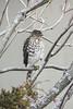 15/365 Hawk Watch (zodia81) Tags: 365project 365year2 2017 dailyphoto hawk bird birdsofprey morgantown westvirginia wv coopershawk