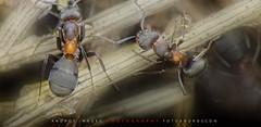 "A very hard working animal - The life of the ants // UN animalito muytrabajador - La vida de las hormigas. (ANDROS images) Tags: andros images photos fotos fotoandros ""androsphoto"" ""fotoandros"" lugares places ""sitiosespeciales"" ""franciscodomínguez"" interesante naturaleza ""naturalezaviva"" ""amoralanaturaleza"" ""imágenesdenuestromundo"" ""sólotenemosunatierra"" ""planetatierra"" ""amarlatierra"" ""cuidemoslatierra"" luz color tonos ""portierrasespañolas"" ""nuestro ""unahermosatierra"" ""reflejosdeluz"" pasión viviendo ""pasiónporlafotografía"" miradas fotografías ""atravésdelobjetivo"" ""elmundoenimágenes"" pictures androsphoto photoandrosplaces placesspecialsites interesting differentnaturelivingnature loveofnature imagesofourworld weonlyhaveoneearthplanetearth foracleanworldlovetheearth carefortheearth light colortones onspanishterritoryourworld abeautifulearth lightreflection ""living passionforphotographylooks photographs throughthelens theworldinpicturesnikon ""nikon7000"" grupodemontañairis androsimages franciscodomínguezrodriguez hormigas ants lavidadelashormigas"