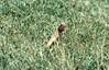 Lizard (Unidentified) (SteveInLeighton's Photos) Tags: transparency ektachrome thailand pattaya lizard 1983 april unidentified reptiles chonburi