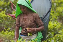Tea picker close in (David Rosen Photography) Tags: teapickers teafactory asia srilanka culture portrait travel canonef200mmf28lusm