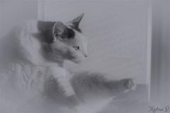 white elegance... HSS 😊 (martinap.1) Tags: cat nikon makro macro sigma 105mm d3300 weis sliderssunday hss 7dwf
