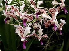 Santa Barbara orchid estates (h willome) Tags: flowers orchids orchidnursery november 2016 santabarbara