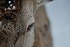 The stag in the snow (clé manuel) Tags: red deer stag nature winter snow schnee rotwild fichtelgebirge pfaben waldhaus steinwaldhaus steinwald animal fur fell eye close up nahaufnahme hirsch sonyalpha tamronsp70210 tamron