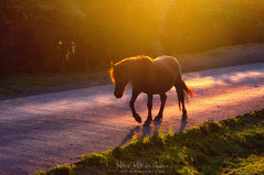 Al redil (Mimadeo) Tags: horse road path way pathway crossing sunset countryside backlight silhouette grass animal rural danger warning caution