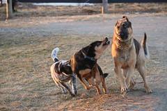 9 big fang (Esperenzah) Tags: dog dogs snarl germanshepherd rottie packofidiots