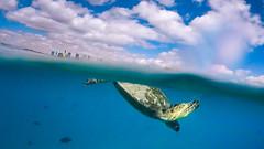 Rising Tide (Tom Fenske Photography) Tags: hawaii sea turtle green blue reptile oahu honolulu water wild swimming