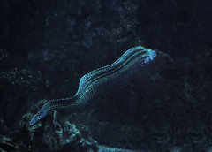 Murena snake spotted at the deep ocean (mironenko1990) Tags: moray eel reef sea underwater ocean coral fish gymnothorax nature diving water tropical animal marine scuba honeycomb favagineus indian giant mouth dive aquatic spotted beauty zanzibar travel barrier dangerous blue great leopard colorful yellow tulamben huge large hunting