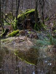 Mossy stump... (stefanh.varberg) Tags: furubergsskogen skog spegling träd