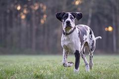 Zyrco (Supervliegzus) Tags: zyrco greatdane harlequin puppy outdoor nikon nature pet animal d7100 spring
