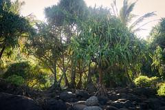 IMG_7624 (kskyenb) Tags: kauai kalalautrail hanakapiaibeach