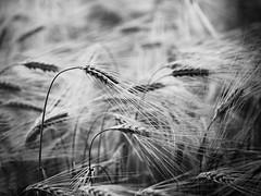 Escurgeon (steph20_2) Tags: bw white black monochrome lumix noir noiretblanc ngc panasonic g5 monochrom agriculture blanc picardie oise m43 céréale skanchelli escurgeon