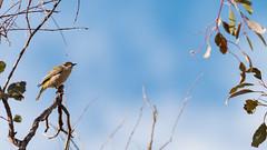 Brown-headed Honeyeater (Melithreptus brevirostris) alone, Campbell Park, Canberra. (Steve J Chivers) Tags: bird canberra campbellpark canon400mmf56 melithreptusbrevirostris brownheadedhoneyeater canoneos70d canberranatureparks