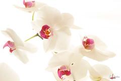 bouquet d'orchidées (gillouvannes56) Tags: orchidées