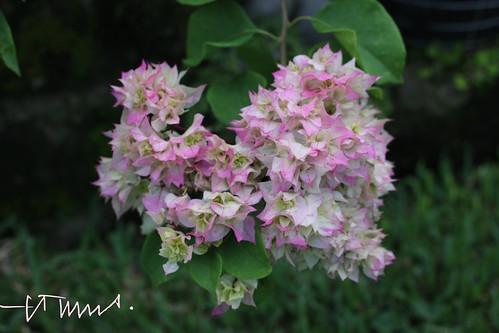 Pink Bougainvillea, El Salvador