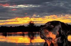 Anglų lietuvių žodynas. Žodis rottweiler reiškia n rotveileris (šunų veislė) lietuviškai.