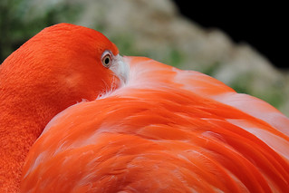 Dallas - American Flamingo