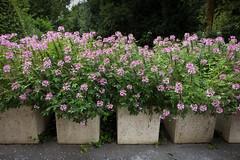 Cleome (paul indigo) Tags: flower colour garden flowerbox cleome paulindigo