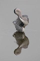 In a Twist (Andrew_Leggett) Tags: reflection bird heron water grey preening twist ardeacinerea twisted preen greyheron preens spriral rspboldmoor andrewleggett